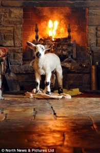 lamb in front of Tan Hill fire